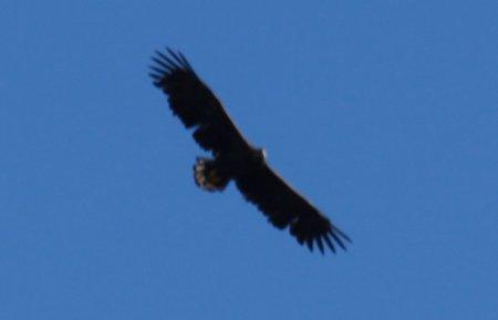 50D 11256 Adler Irvanview klein
