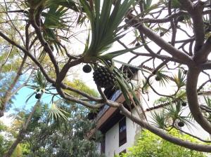 Pandanus utilis ist eine Pflanzenart aus der Gattung der Schraubenbäume