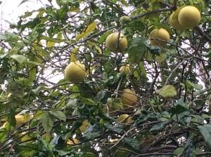 Grapefruit (Citrus paradisi) - hier Pomelo